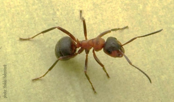 An ant (F. Aquilonia)